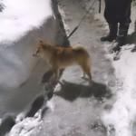 愛犬の散歩道は雪の壁だった